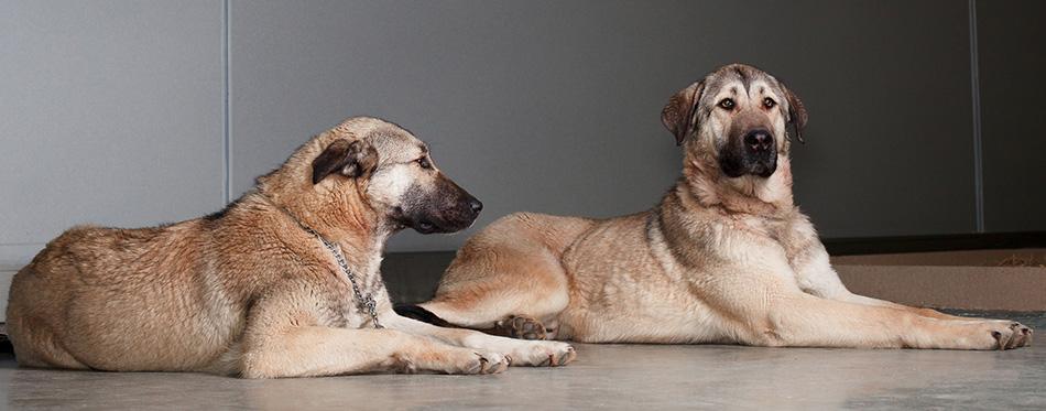 Two Kangal dogs