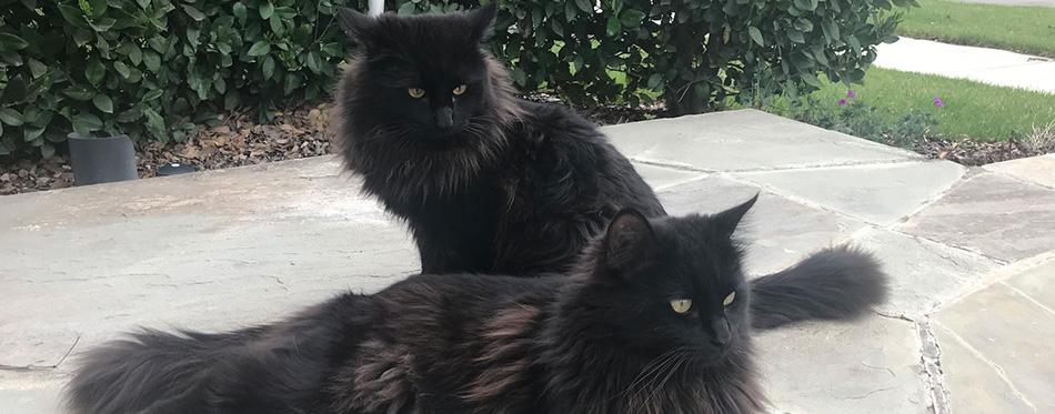 Two Ragdoll black cats