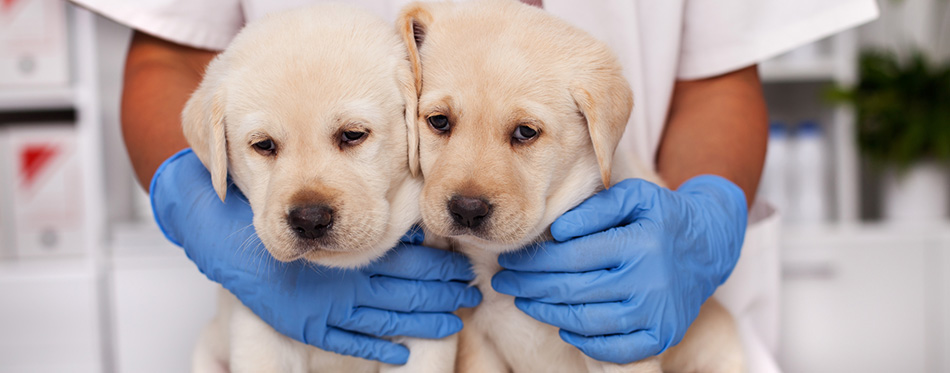Two cute but frightened labrador puppy dogs at the vete