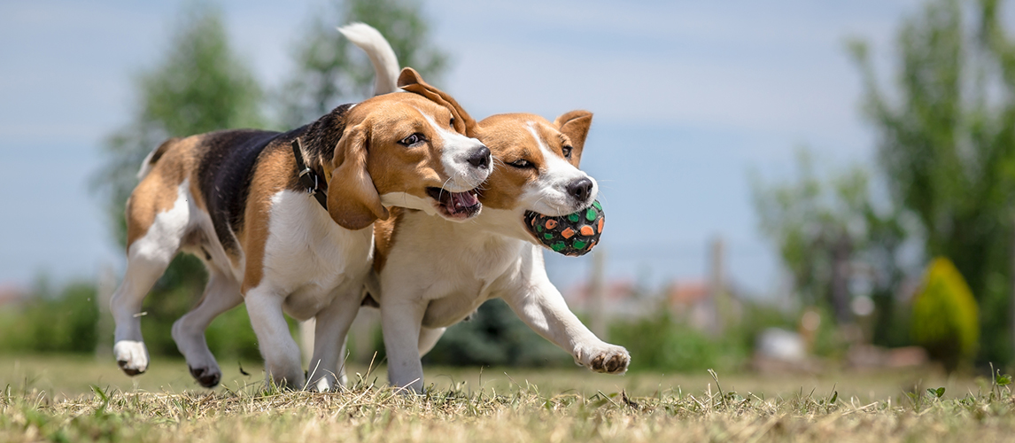 Two dogs playing with one toy