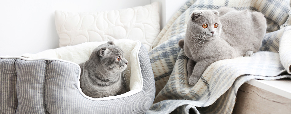 Two gray cats