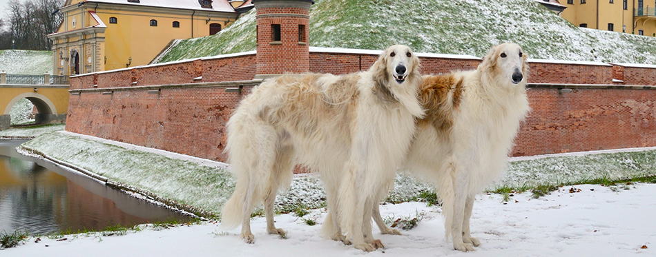 Two russian wolf hounds
