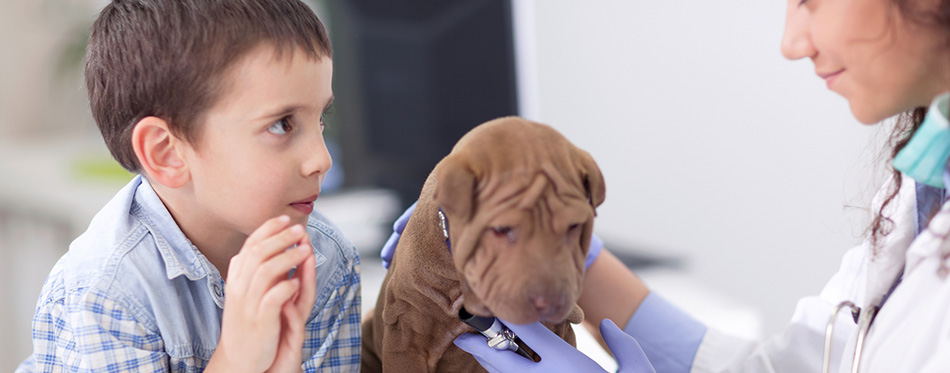 Veterinary examine Shar Pei dog ,young boy looking his