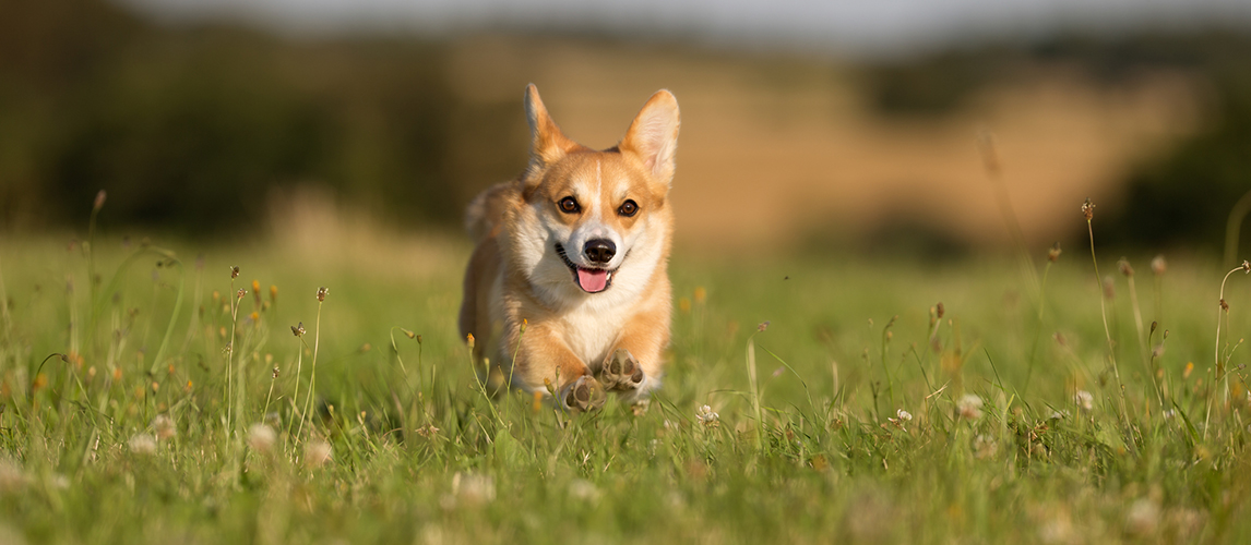 Welsh corgi dog running