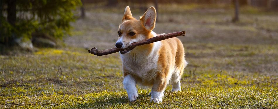 Welsh corgi running with a stick