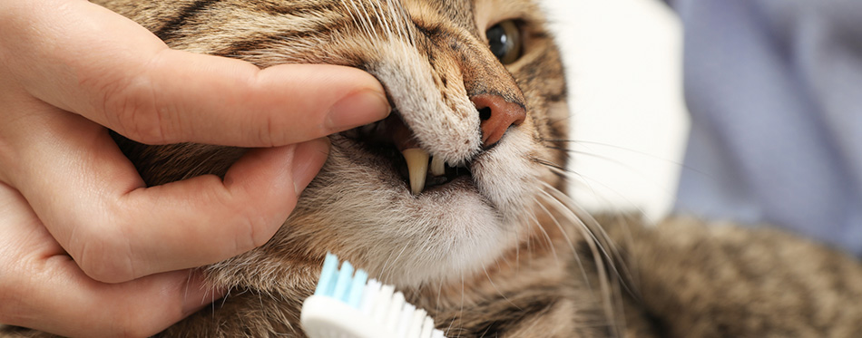 Woman cleaning cat's teeth with toothbrush, closeup