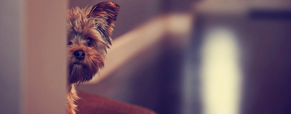 Yorkshire terrier hidyng from wall