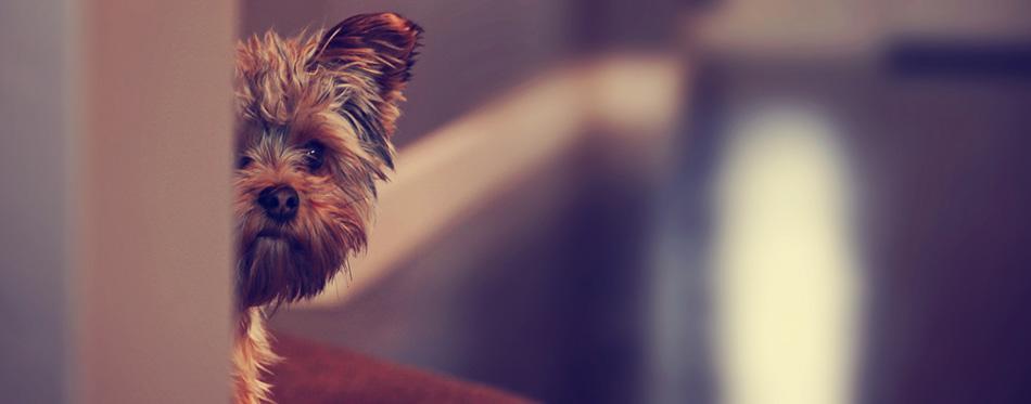 Yorkshire terrier peeking from wall