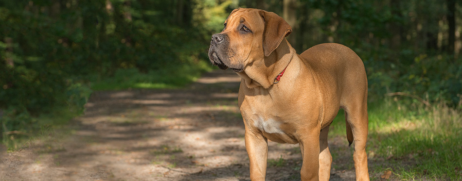 Young south african mastiff dog standing in a forest