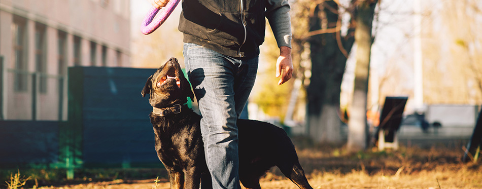 training service dog outdoor with toy ring