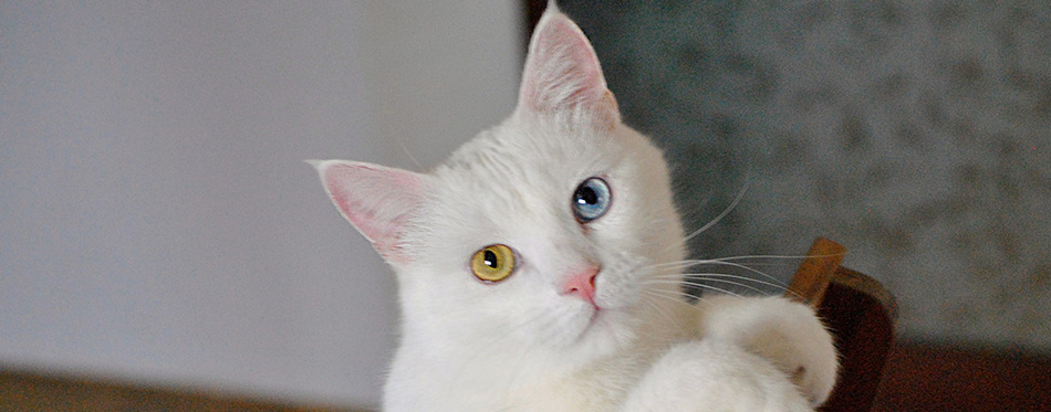A closeup shot of a Turkish Van car indoors laying on a wooden chair