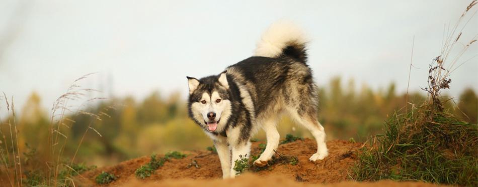 Alaskan Malamute on the field