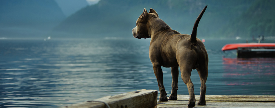 American Pit Bull Terrier dog outdoor portrait standing on dock with mountains
