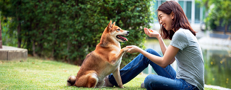 Asian woman plays with the Shiba Inu dog in the backyard.