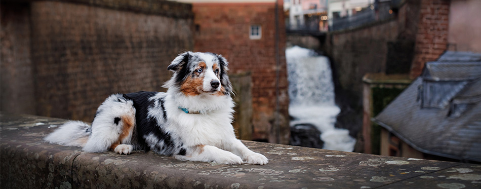 Australian Shepherd dog lying on the wall