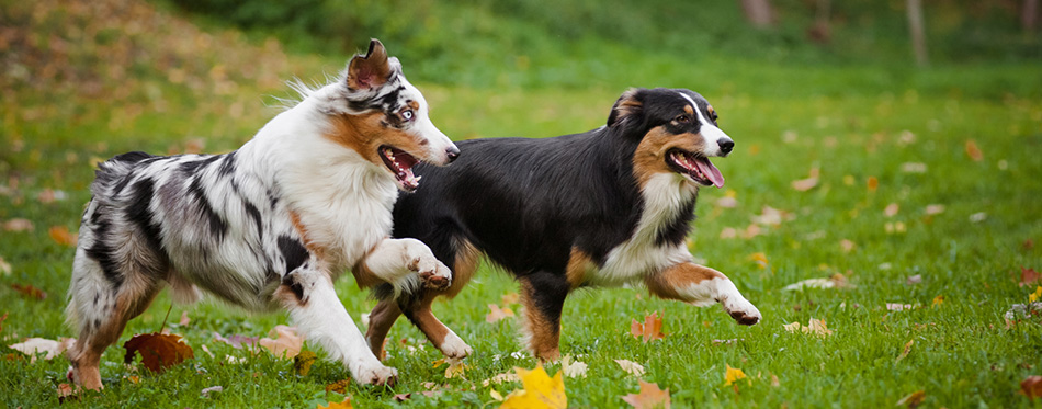 Australian Shepherd dogs playing