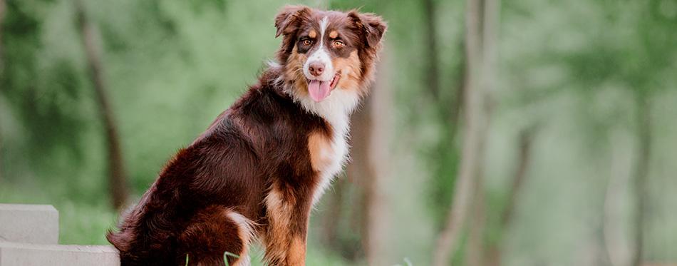 Australian Shepherd. A dog in the park. Aussie dog