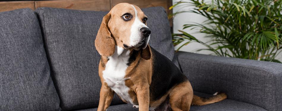Beagle dog on sofa