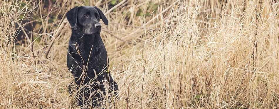 Black Labrador outdoor