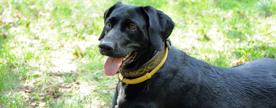 Black dog in yellow anti flea dog collar