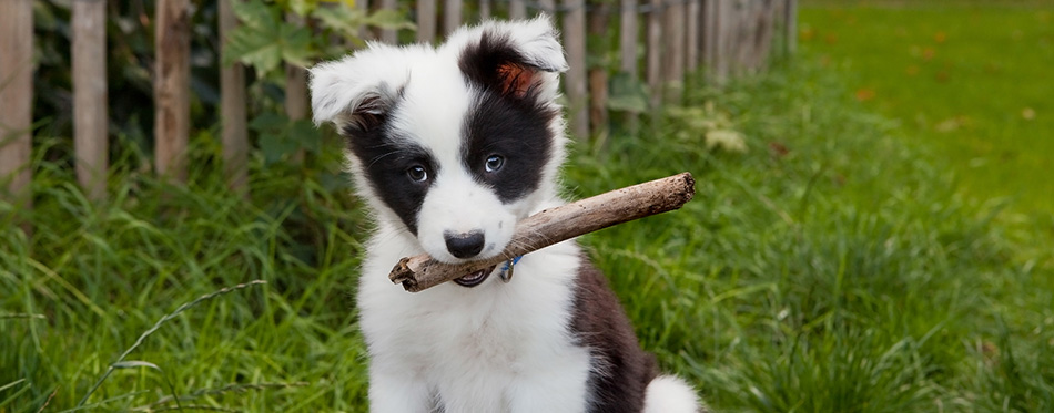 Border collie puppy on grass