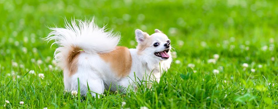 Cheerful chihuahua dog on meadow