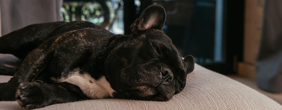 Cute french bulldog sleeping on sofa in living room