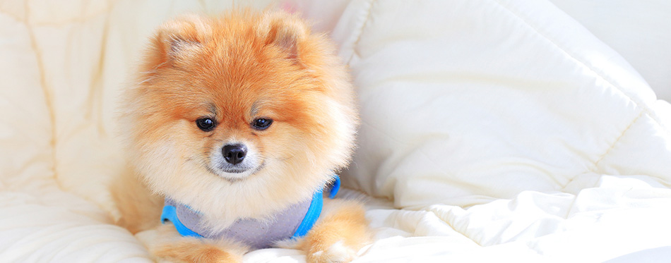 Cute pet in house, pomeranian grooming dog wear clothes