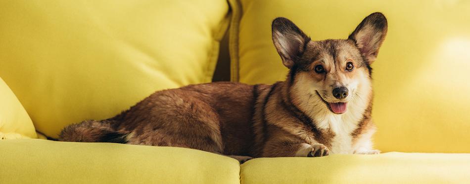 Cute welsh corgi dog lying on yellow sofa