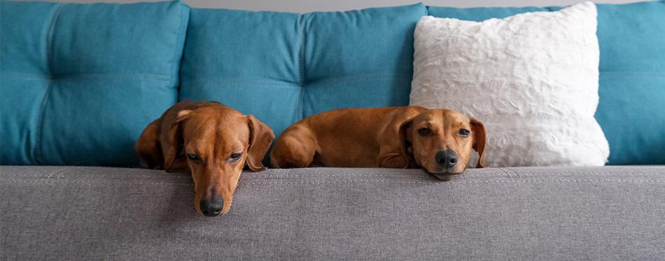 Dachshund dogs lying on the sofa