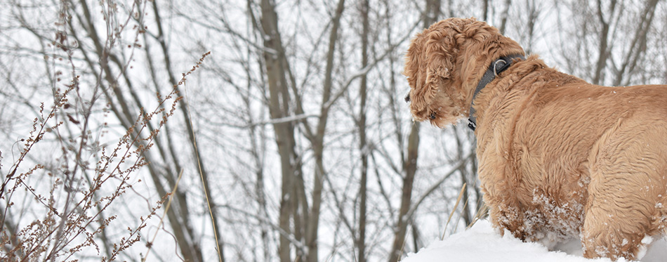 Dog Cocker Spaniel in winter forest