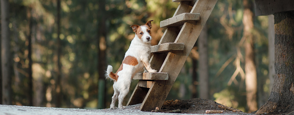 Dog jack russel terrier outdoors