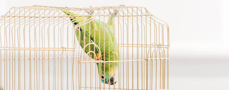 Funny green amazon parrot hanging head down in bird cage