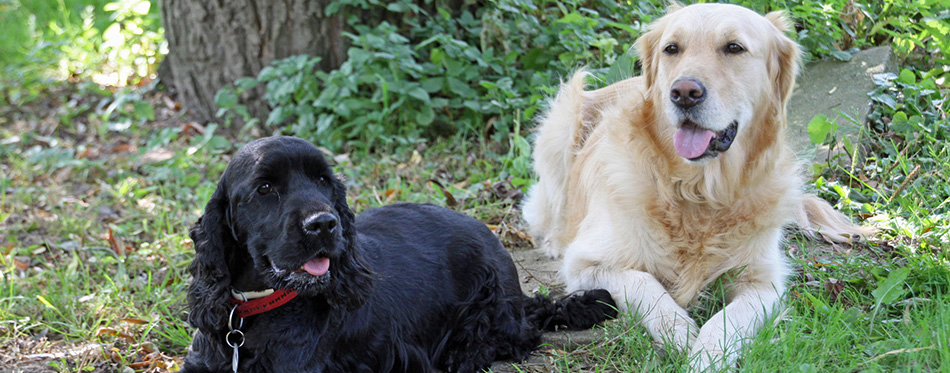 Golden Retriever and Cocker Spaniel