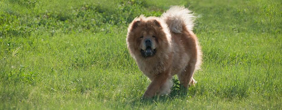 Hulunbeier mergel River Golden Horde Khan Mongolian steppe tribes small Tibetan mastiff