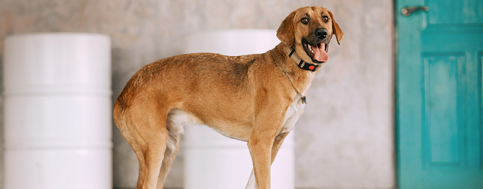 Large mixed breed dog standing indoors in a collar