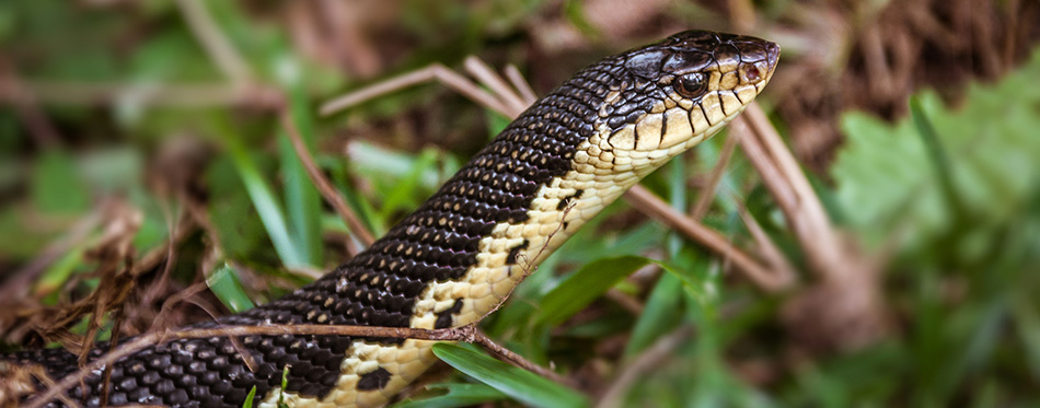 Malagasy grass snake
