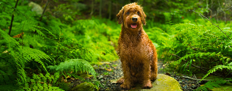 Miniature Goldendoodle in the woods