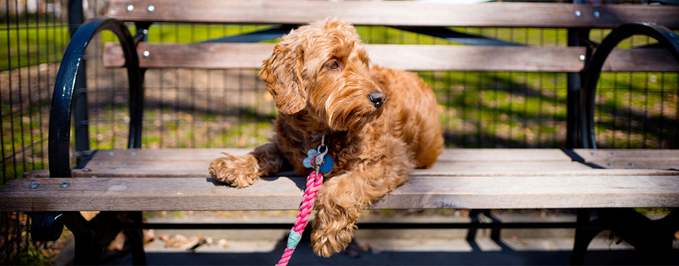 Miniature Goldendoodle lying on a bench
