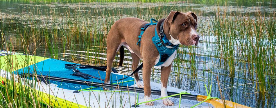Pit Bull Boxer Mix dog