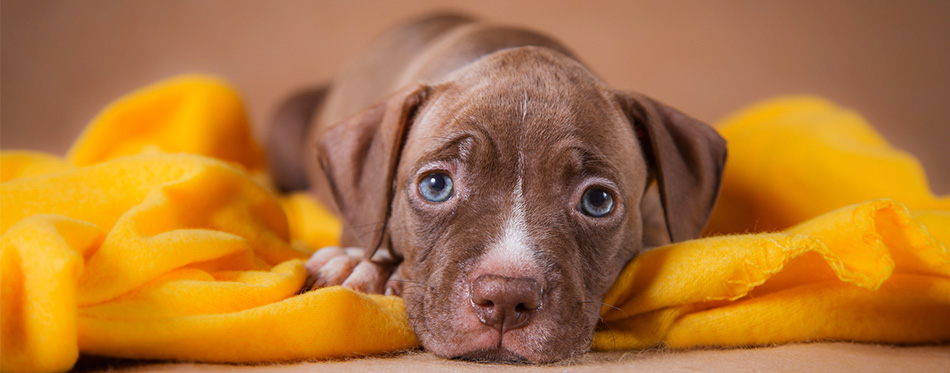 Pit Bull Boxer Mix puppy