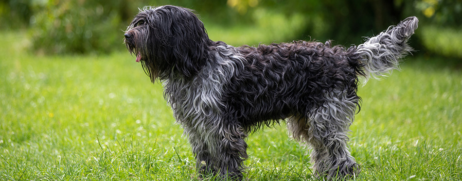 Portrait of Dutch sheepdog on green yard