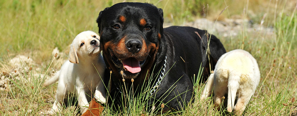 Rottweiler and puppies labrador