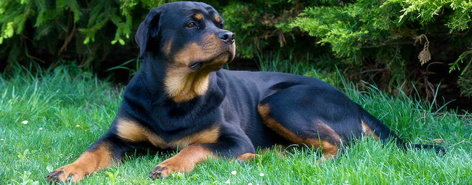 Rottweiler lying on the grass