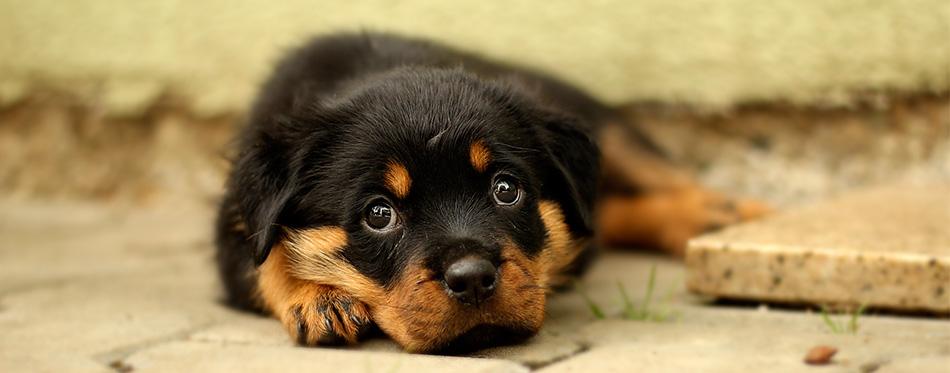 Rottweiler puppy lying
