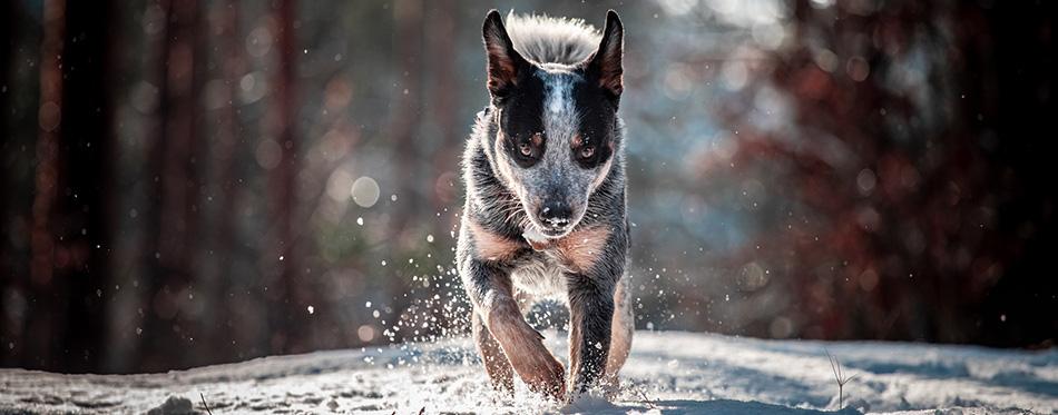 Running australian cattle dog, on free walk in forest on snow