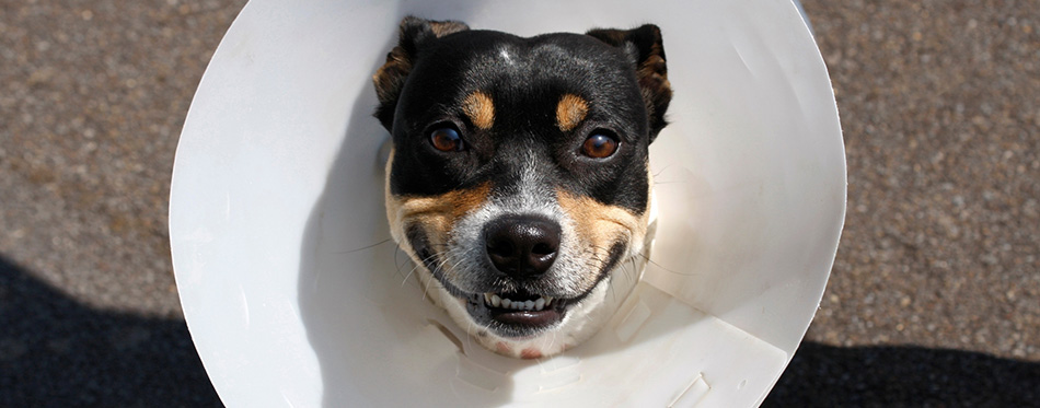 Smiling dog wearing a cone