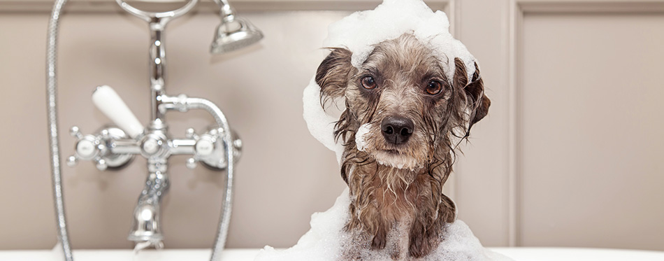 Terrier dog taking bubble bath