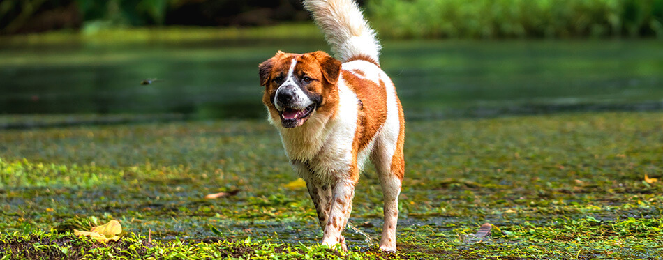 The Mixed breed dog in brown with white color standing over the lake in the deep forest, animal and nature concept