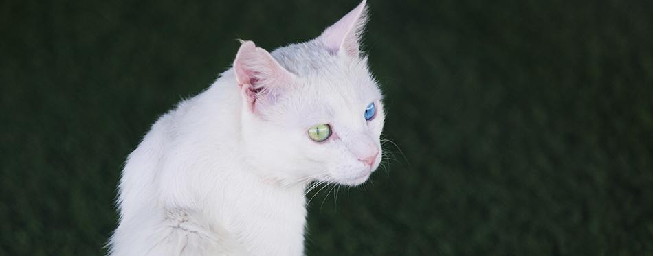 Turkish Van cat. Close-up portrait of a pet.